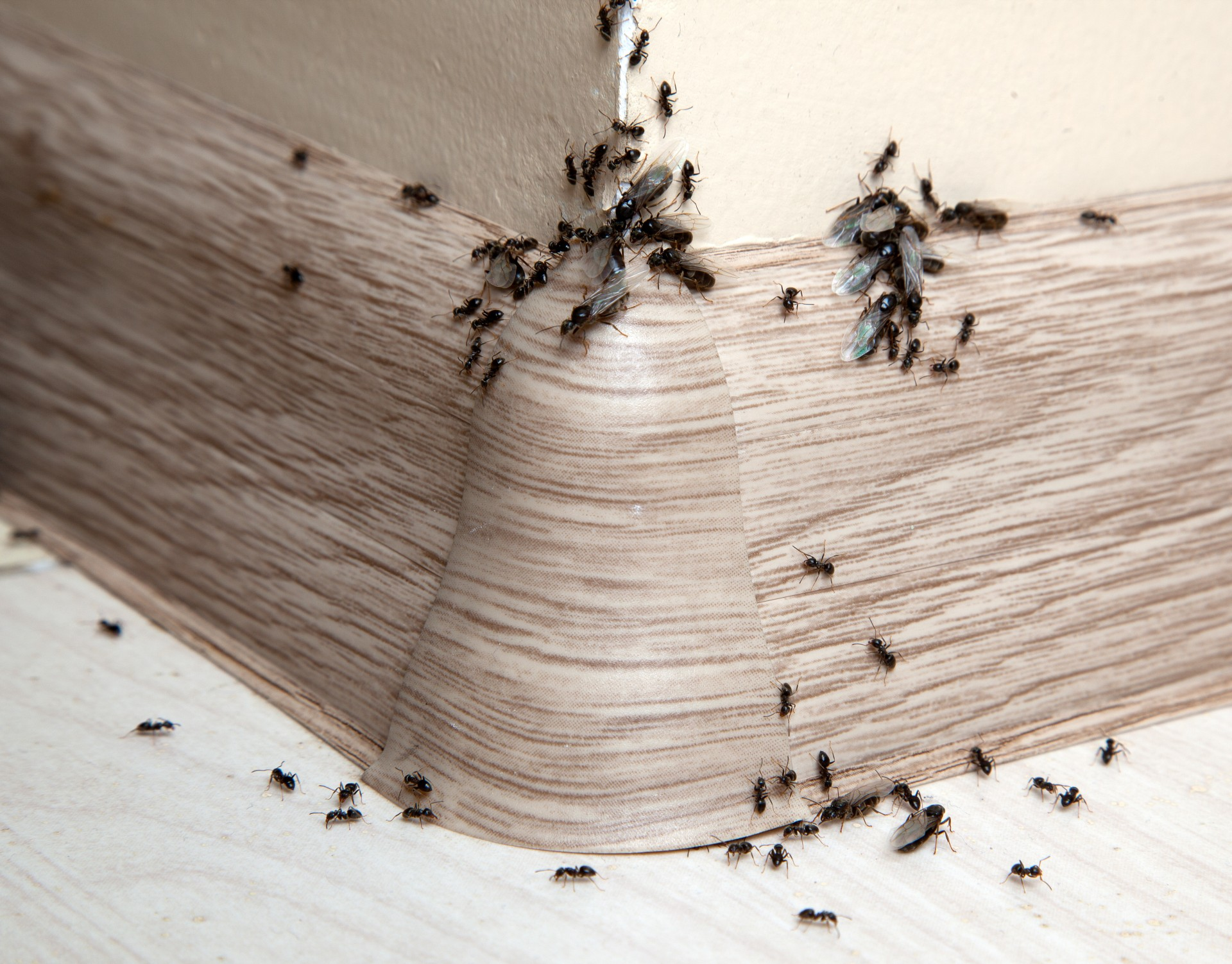 Ant Infestation, Pest Control in Staines-upon-Thames, Egham Hythe, TW18. Call Now 020 8166 9746