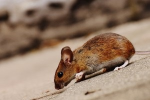 Mouse extermination, Pest Control in Staines-upon-Thames, Egham Hythe, TW18. Call Now 020 8166 9746