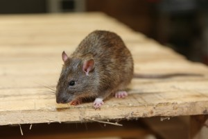 Rodent Control, Pest Control in Staines-upon-Thames, Egham Hythe, TW18. Call Now 020 8166 9746