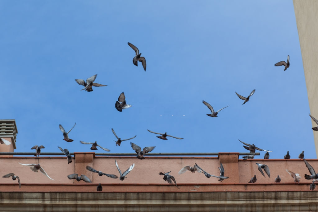 Pigeon Pest, Pest Control in Staines-upon-Thames, Egham Hythe, TW18. Call Now 020 8166 9746