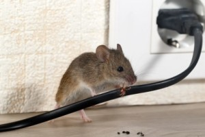Mice Control, Pest Control in Staines-upon-Thames, Egham Hythe, TW18. Call Now 020 8166 9746